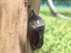 La chrysalide devient noire puis transparente.