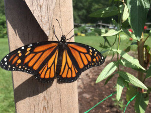 Finally the butterfly, out of the chrysalis is ready to fly.
