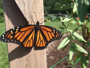 Enfin le papillon, sorti de la chrysalide est prêt à s'envoler.