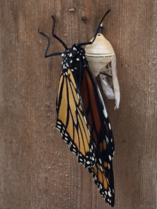 Mona Lisa, our first butterfly just out of her chrysalis.