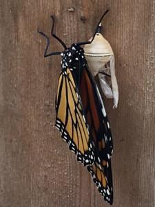 Mona Lisa, notre premier papillon à peine sorti de sa chrysalide.