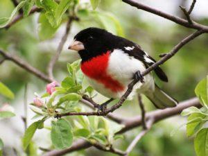 Cardinal à poitrine rose mâle Danielle B.-Pierre L
