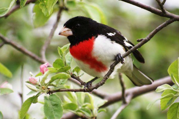 Cardinal à poitrine rose mâle (Danielle B.-Pierre L.)