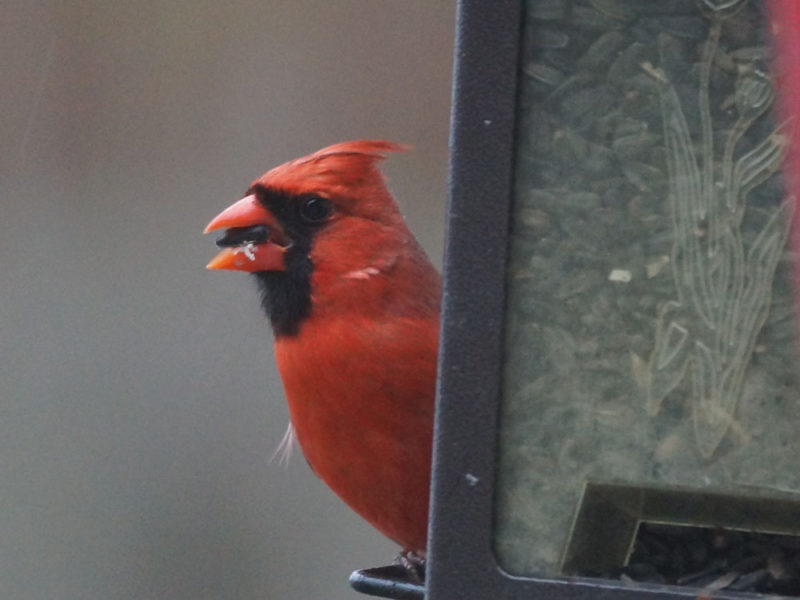 Cardinal rouge mâle (Danielle B. - Pierre L.)