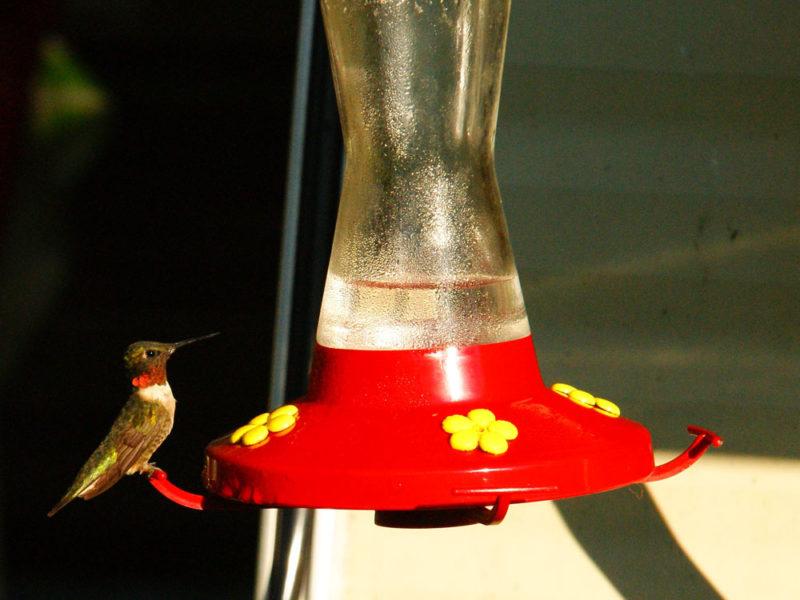 Colibri à gorge rubis mâle (Danielle-B.-Pierre-L)