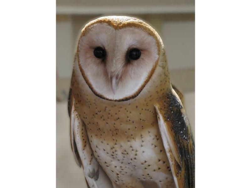 Effraie des clochers (owl-964216_960_720)