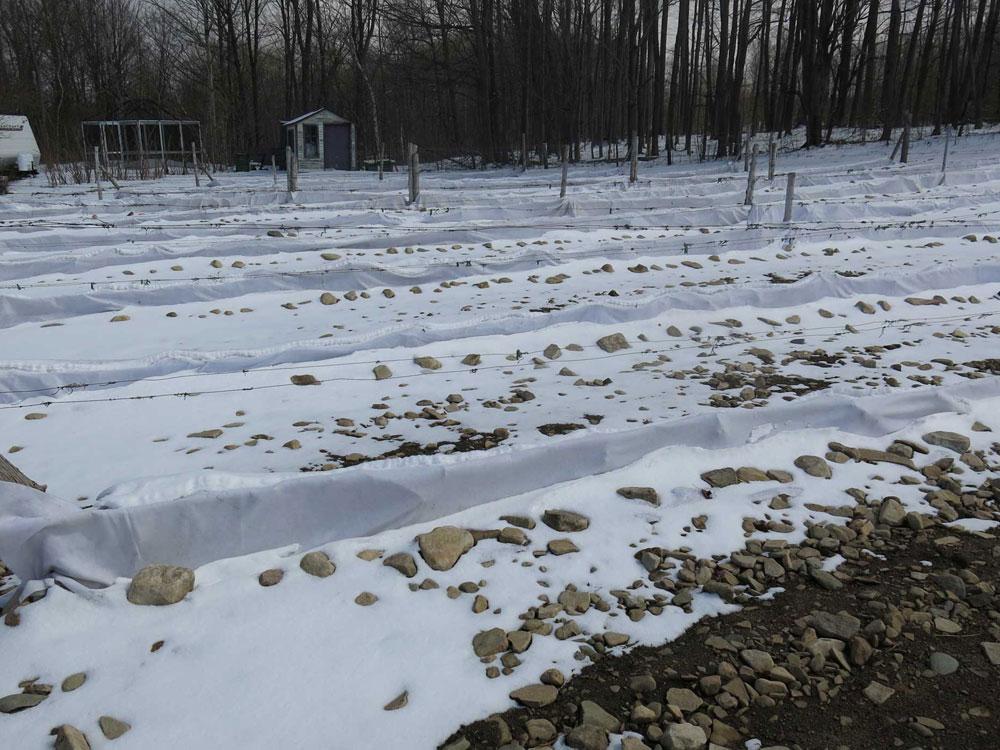 Début avril. La neige commence à fondre. Bientôt il sera temps d'enlever les toiles géotextiles.