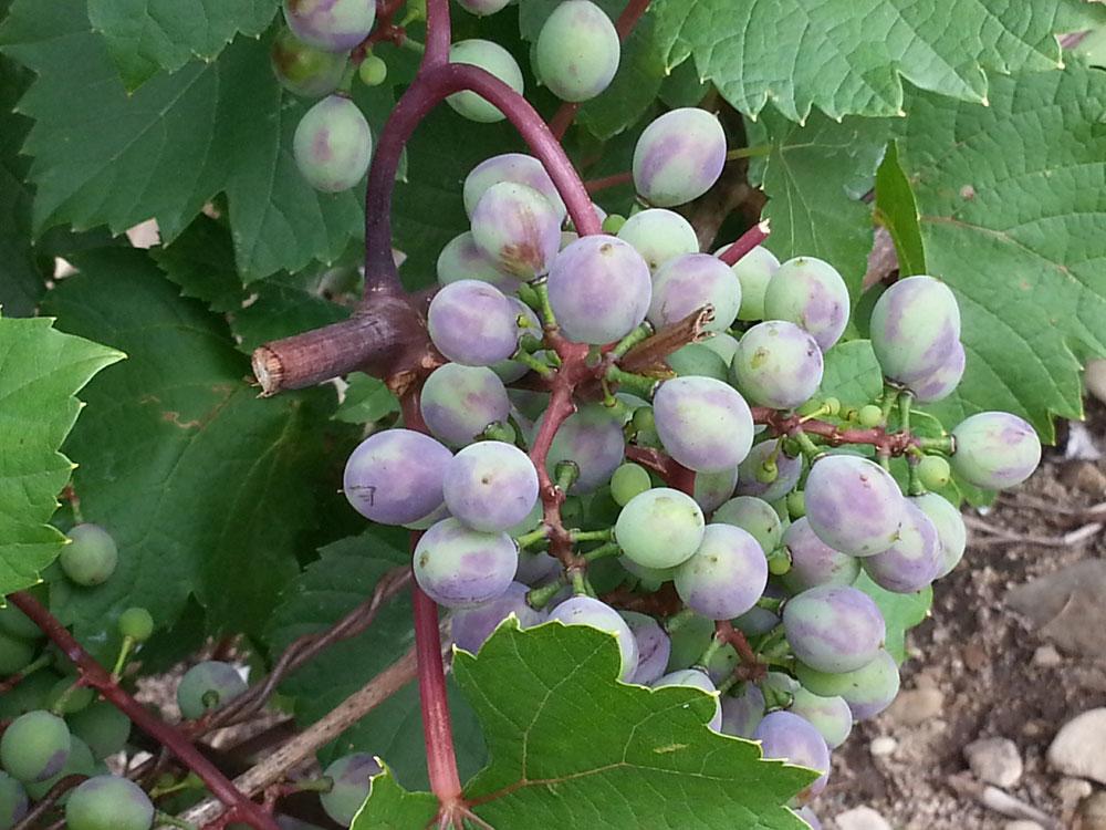 Véraison. Les raisins murissent, ils commencent à changer de couleur.