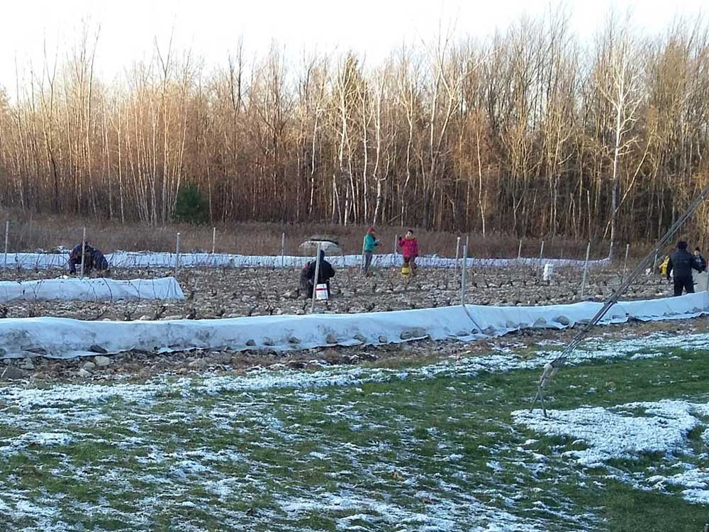 Fin octobre, début novembre c'est le moment de la taille d'automne et de mettre les toiles pour protéger du gel.