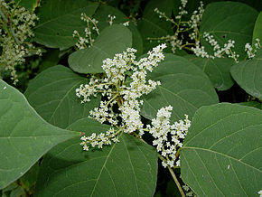 Renouée japonaise - fleurs et feuilles