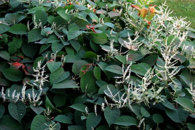 Renouée japonaise - Larges feuilles en coeur, grappes de fleurs blanches et en grand nombre