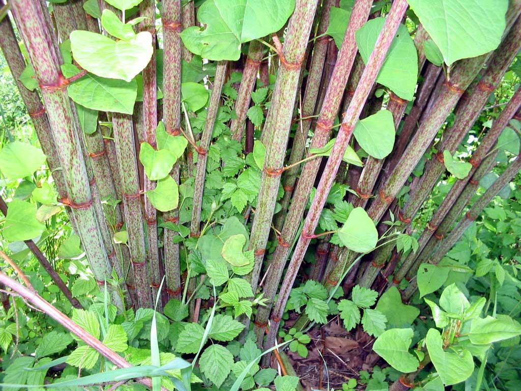 Renouée japonaise - Tiges ressemblant à du bambou