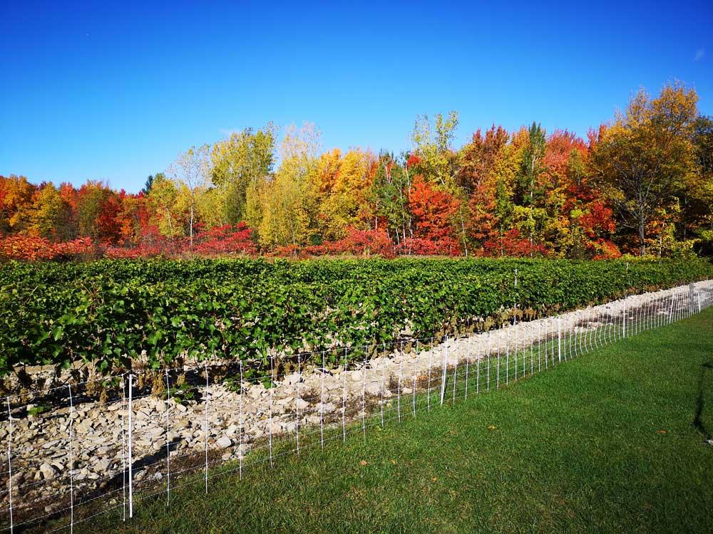 Photo du vignoble prise le 15 octobre 2019. Les feuilles des ceps sont toujours vertes.